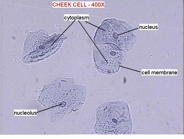 human cheek cells under diagram schematic diagram Finger Cell Diagram Labeled cheek cell slide labeled schematic diagram diagram of a cell and its parts cheek cell diagram